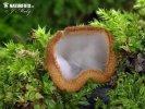 bělokosmatka polokulovitá (Humaria hemisphaerica)