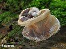 boltcovitka mozkovitá (Auricularia mesenterica)