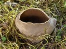 chřapáč kalíškovitý (Helvella leucomelaena)