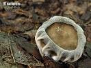 chřapáč žebernatý (Helvella costifera)