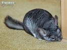Činčila dlouhoocasá (Chinchilla lanigera)
