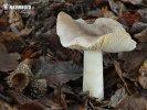 čirůvka šedožemlová (Tricholoma scalpturatum)