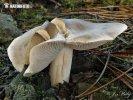 čirůvka světlá (Tricholoma sudum)