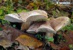 čirůvka topolová (Tricholoma populinum)
