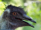 Emu hnědý (australský) (Dromaius novaehollandiae)