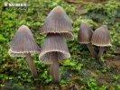 helmovka louhová (Mycena stipata)