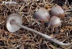 helmovka šiškomilná (Mycena strobilicola)