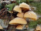 hlíva hnízdovitá (Phyllotopsis nidulans)