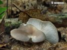 hlíva plicní (Pleurotus pulmonarius)