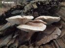 houževnatec přivázlý (Neolentinus adhaerens)