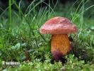 hřib koloděj červený (Suillellus luridus var. rubriceps)