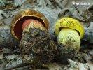 hřib kovář + hřib kovář žlutý (Boletus luridiformis + Boletus junquilleus)