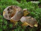 hřib modračka (Boletus pulverulentus)