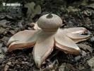 hvězdovka Berkeleyova (Geastrum berkeleyi)
