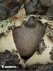 hvězdovka Berkeleyova - Znaky hub (Geastrum berkeleyi)