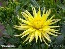 Jiřina - Gryson's Yellow Spider (Dahlia)