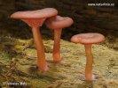 kalichovka lužní (Omphalina discorosea)