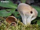 kališník obecný (Helvella acetabulum)