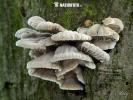 klanolístka obecná (Schizophyllum commune)
