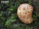 kořenovec načervenalý (Rhizopogon roseolus)