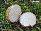 kořenovec tenkovýtrusý - Znaky hub (Rhizopogon vulgaris)