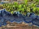 kornatec modrý (Terana caerulea)