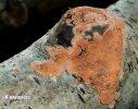 kornatka masová (Peniophora incarnata)