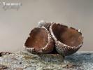 kornice svazčitá (Encoelia fascicularis)