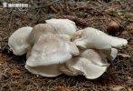 krásnopórka mlynářka (Albatrellus ovinus)