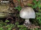 kukmák dřevní (Volvariella caesiotincta)