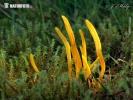 kyjovečka hnědavá (Clavulinopsis helvola)