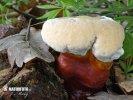 lesklokorka lesklá (Ganoderma lucidum)