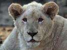 Lev jihoafrický bílý (Panthera leo krugeri)