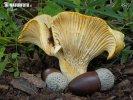 liška dubová (Cantharellus ilicis)