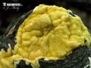 masenka blíže neurčená (Hypocrea sp.)