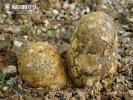 měcháč písečný (Pisolithus arhizus)
