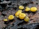 míhavka tenkovýtrusá (přisedlá) (Vibrissea leptospora)