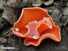 mísenka oranžová (Aleuria aurantia)