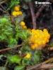 oranžovka vřetenovýtrusá (Inermisia fusispora)