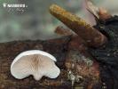 pařezník jemný (Panellus mitis)