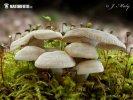 pařezník obecný (Panellus stipticus)