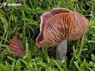 pavučinec blíže neurčený 2 (Cortinarius sp.)