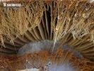 pavučinec kozlí - Znaky hub (Cortinarius traganus)