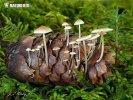 penízečka drobnovýtrusá (Baeospora myosura)
