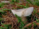 penízovka máslová kuželovitá (Rhodocollybia butyracea f. asema)