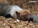 Pes pralesní (Speothos venaticus)