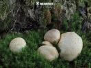 pestřec obecný (Scleroderma citrinum)