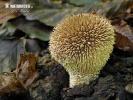 pýchavka ježatá (Lycoperdon echinatum)