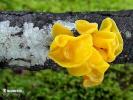 rosolovka mozkovitá (Tremella mesenterica)