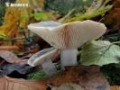 ryzec hnědozelený (Lactarius fluens)